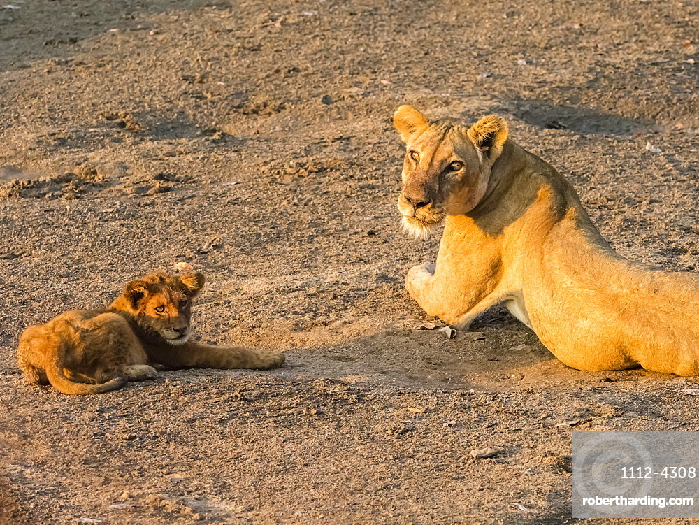 An adult lioness, Panthera leo, with playful cub along the Luangwa River in South Luangwa National Park, Zambia.