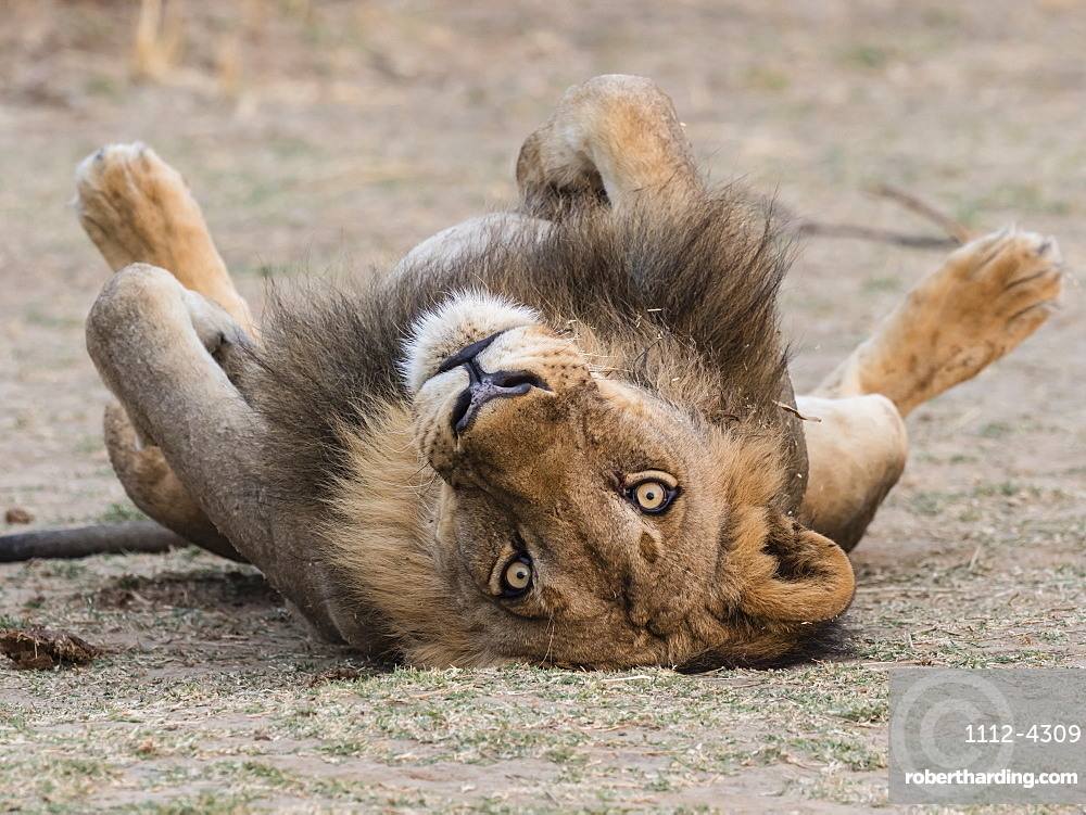 An adult male lion, Panthera leo, in South Luangwa National Park, Zambia.