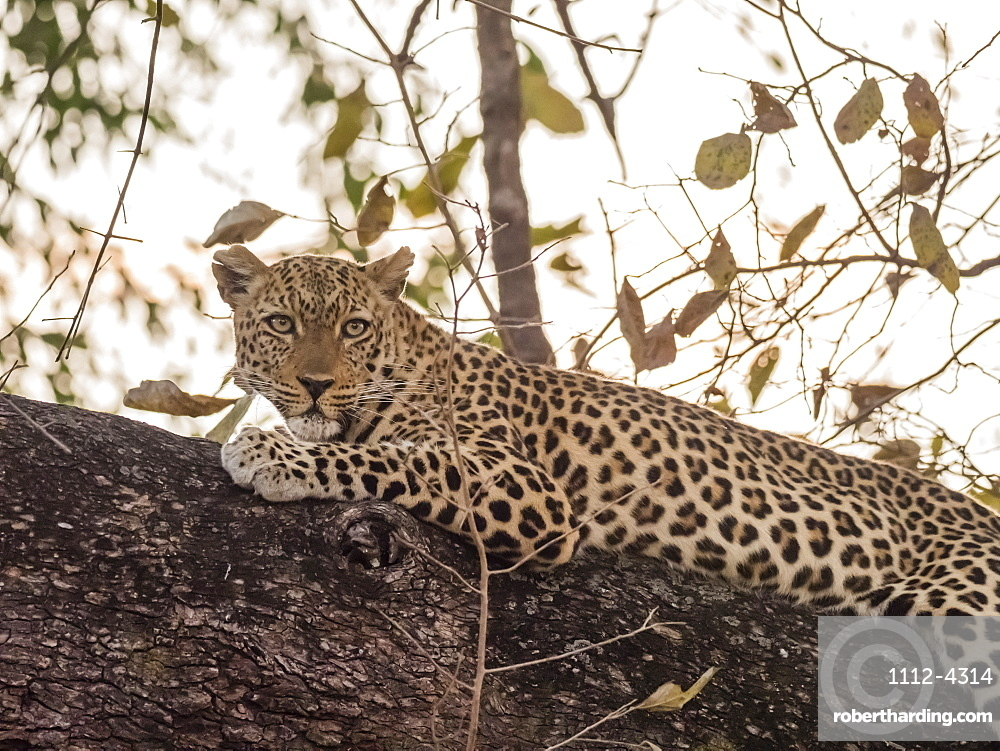 An adult female leopard, Panthera pardus, in South Luangwa National Park, Zambia.