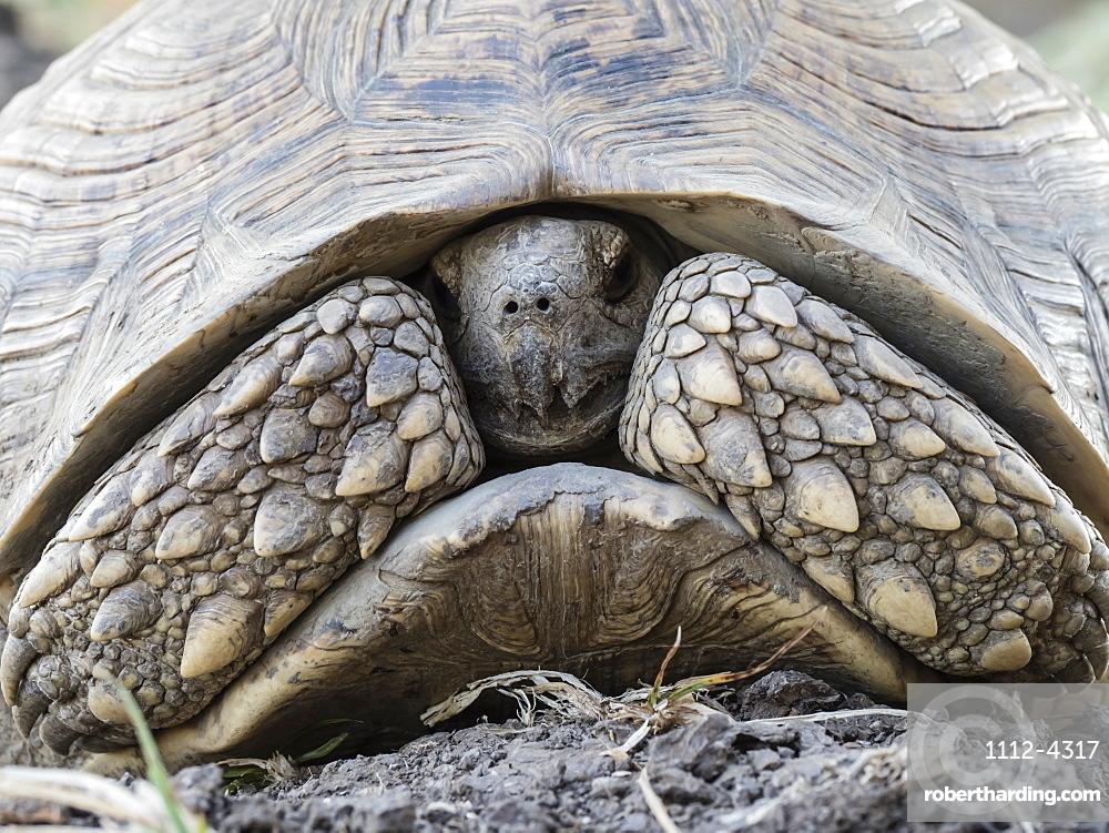 An adult leopard tortoise, Stigmochelys pardalis, in South Luangwa National Park, Zambia.