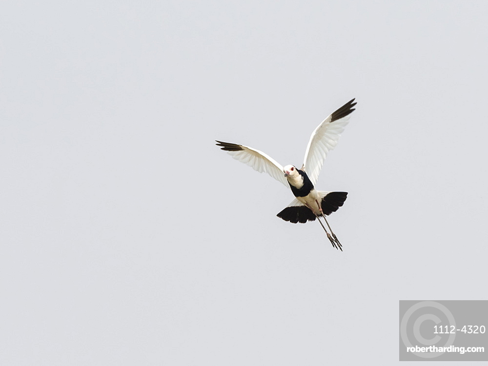 An adult long-toed lapwing, Vanellus crassirostris, in flight in Mosi-oa-Tunya National Park, Zambia.
