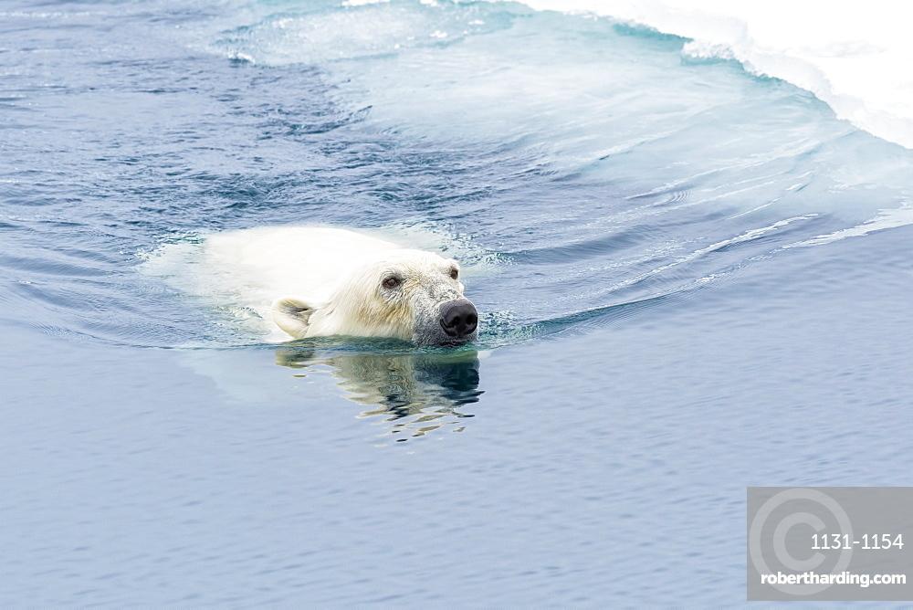 Polar Bear (Ursus maritimus) swimming through pack ice, Svalbard Archipelago, Arctic, Norway, Europe