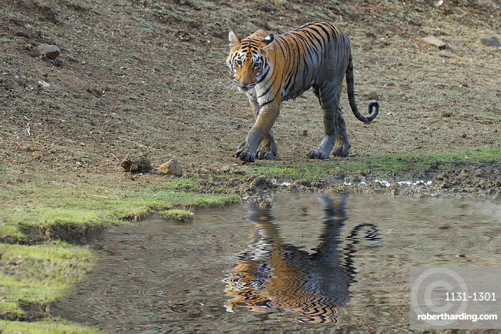Young Bengal tiger (Panthera tigris tigris) at a water pond, Tadoba Andhari Tiger Reserve, Maharashtra state, India, Asia