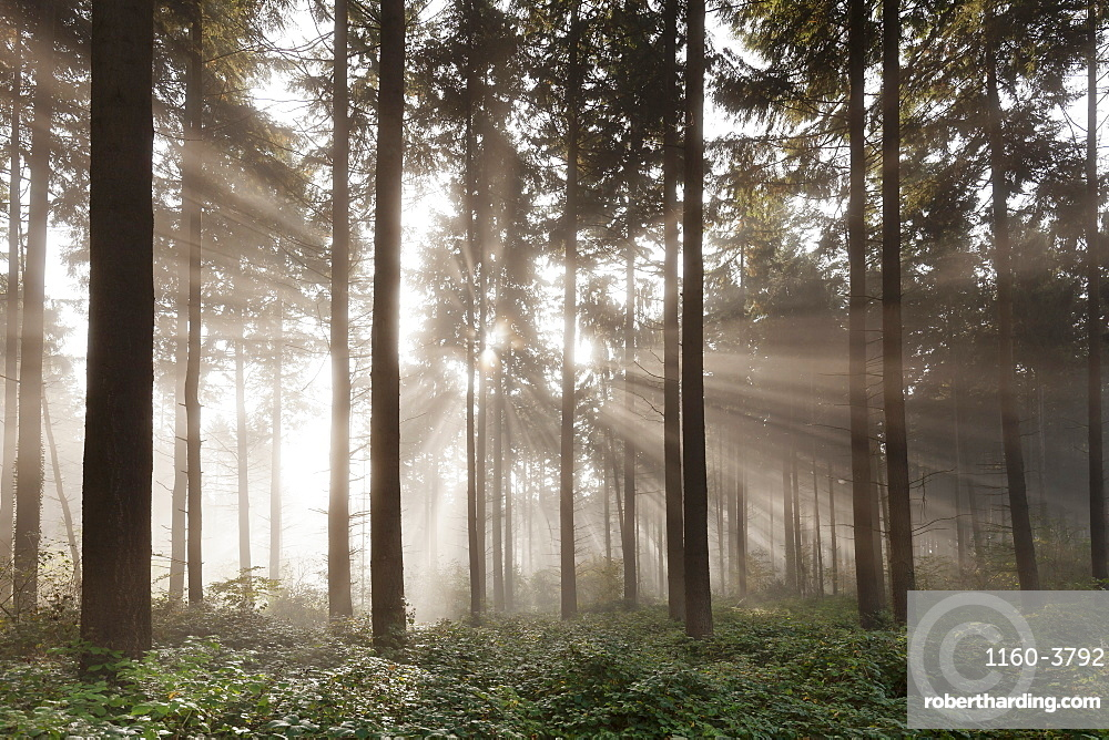 Sunbeams in a forest, Moselle Valley, Rhineland-Palatinate, Germany