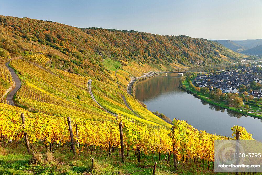 Vineyards in autumn, Loop of Moselle River near Kroev, Rhineland-Palatinate, Germany, Europe