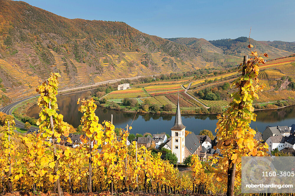 Loop of Moselle River and vineyards in autumn, Bremm, Rhineland-Palatinate, Germany, Europe