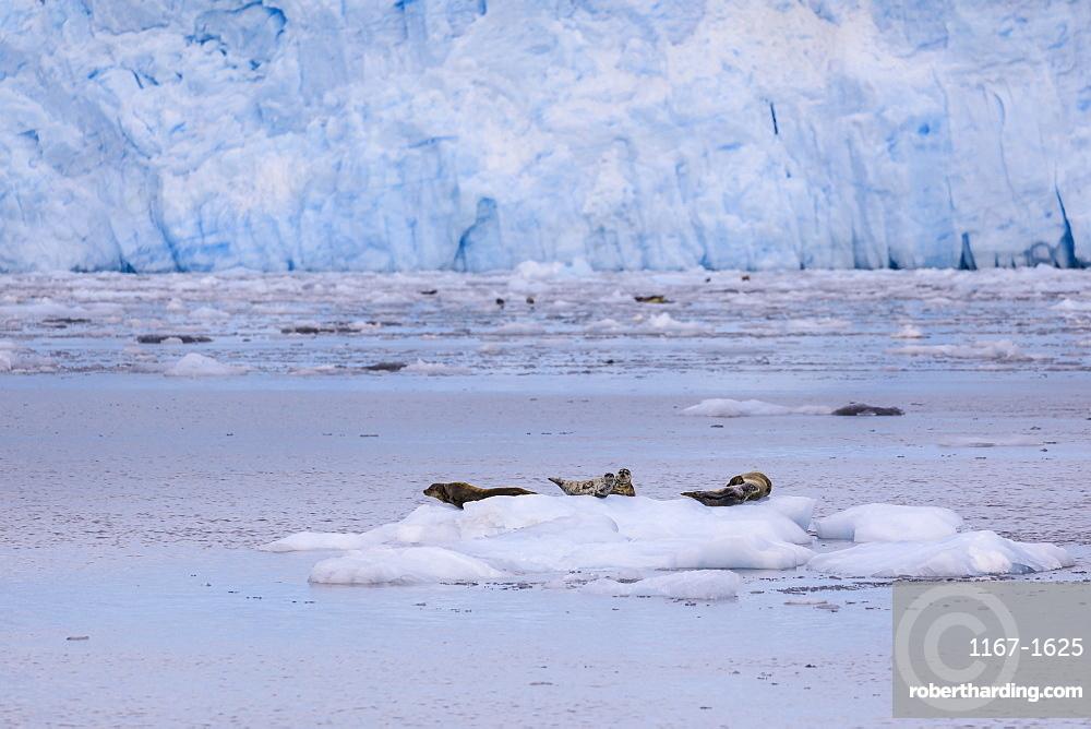 Harbour Seals (Phoca Vitulina) on an iceberg, blue ice of Aialik Glacier, Kenai Fjords National Park, near Seward, Alaska, United States of America, North America