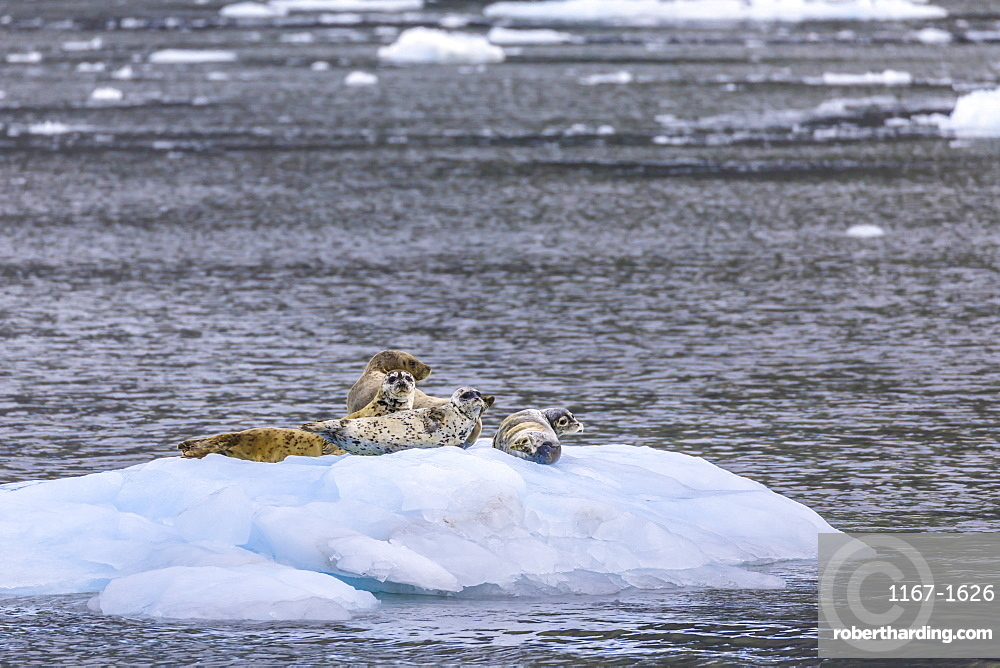Harbour Seals (Phoca Vitulina) on an iceberg, Aialik Glacier, Harding Icefield, Kenai Fjords National Park, Alaska, United States of America, North America