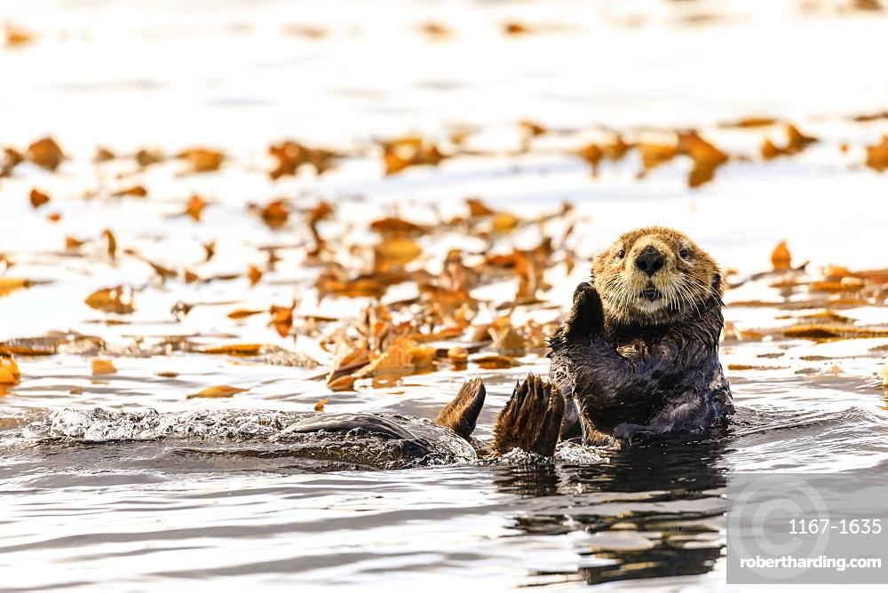 Sea otter (Enhyrda lutris), endangered species, calm waters of Sitka Sound, Sitka, Northern Panhandle, Southeast Alaska, United States of America, North America