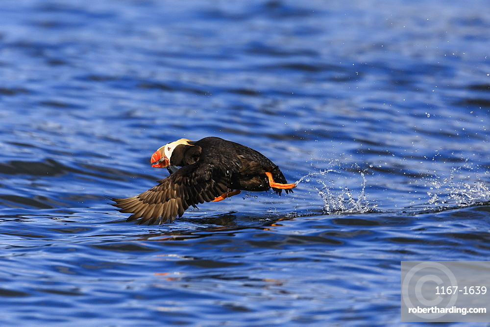 Tufted Puffin (Fratercula cirrhata) in flight over the sea, with catch, Sitka Sound, Sitka, Southeast Alaska, USA