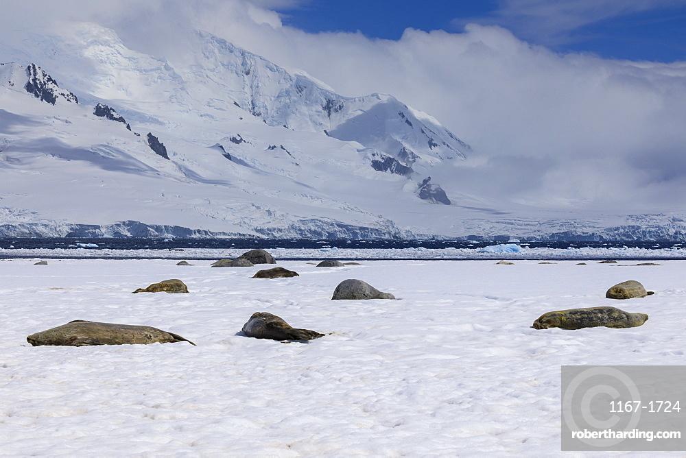 Sleeping Weddell seals (Leptonychotes weddellii), Half Moon Island, Livingston Island view, South Shetland Islands, Antarctica, Polar Regions