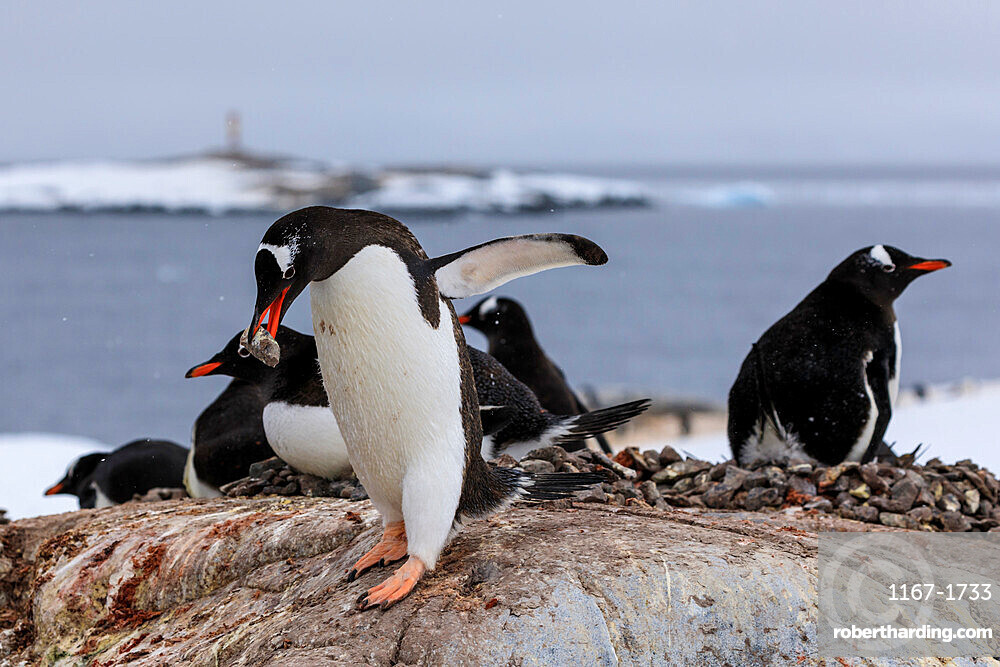 Gentoo penguin (Pygoscelis papua) carries pebble in colony, Damoy Point, Wiencke Island, Antarctic Peninsula, Antarctica