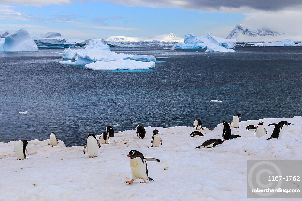Gentoo penguins (Pygoscelis papua) come ashore, Cuverville Island, Errera Channel, Danco Coast, Antarctic Peninsula, Antarctica, Polar Regions