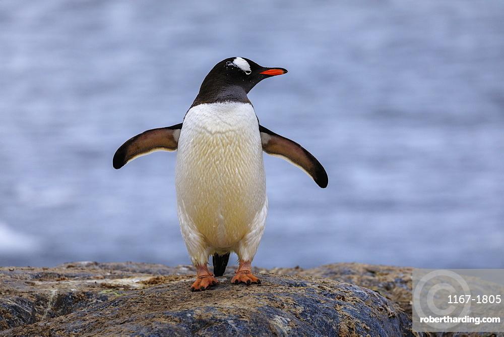 Gentoo penguin (Pygoscelis papua), on rocks above the sea, Gonzalez Videla Station, Waterboat Point, Paradise Bay, Antarctica
