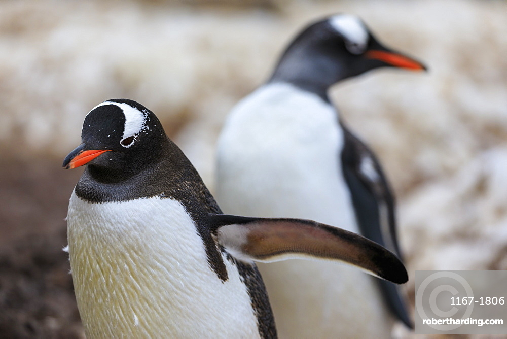 Gentoo penguins (Pygoscelis papua), Gonzalez Videla Station, Waterboat Point, Paradise Bay, Antarctica, Polar Regions