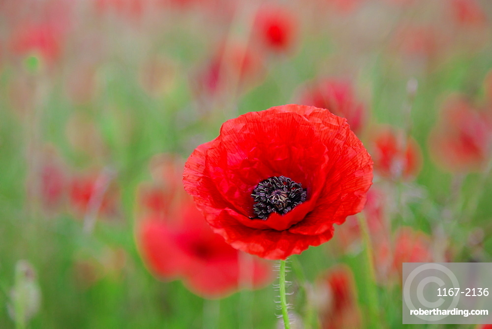 Red poppy, beautiful wild flower portrait, soft light, countryside of Peak District National Park, Baslow, Derbyshire, England