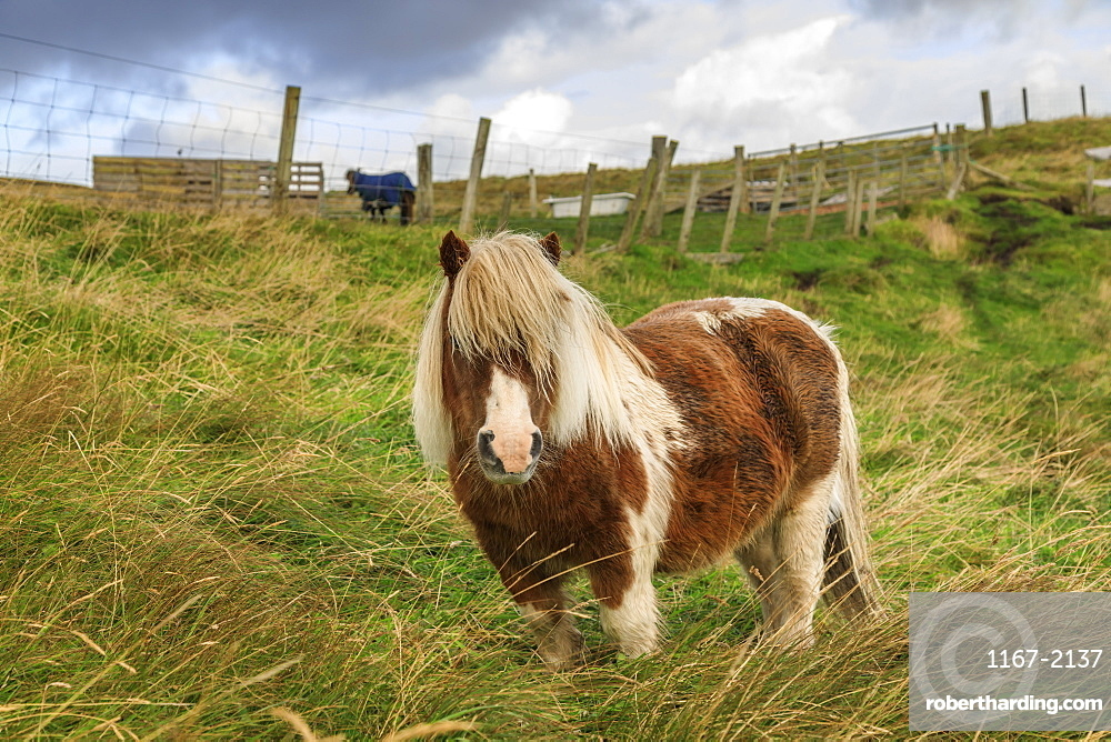 Red and white Shetland Pony in field, a world famous unique and hardy breed, Westerwick, West Mainland, Shetland Isles, Scotland