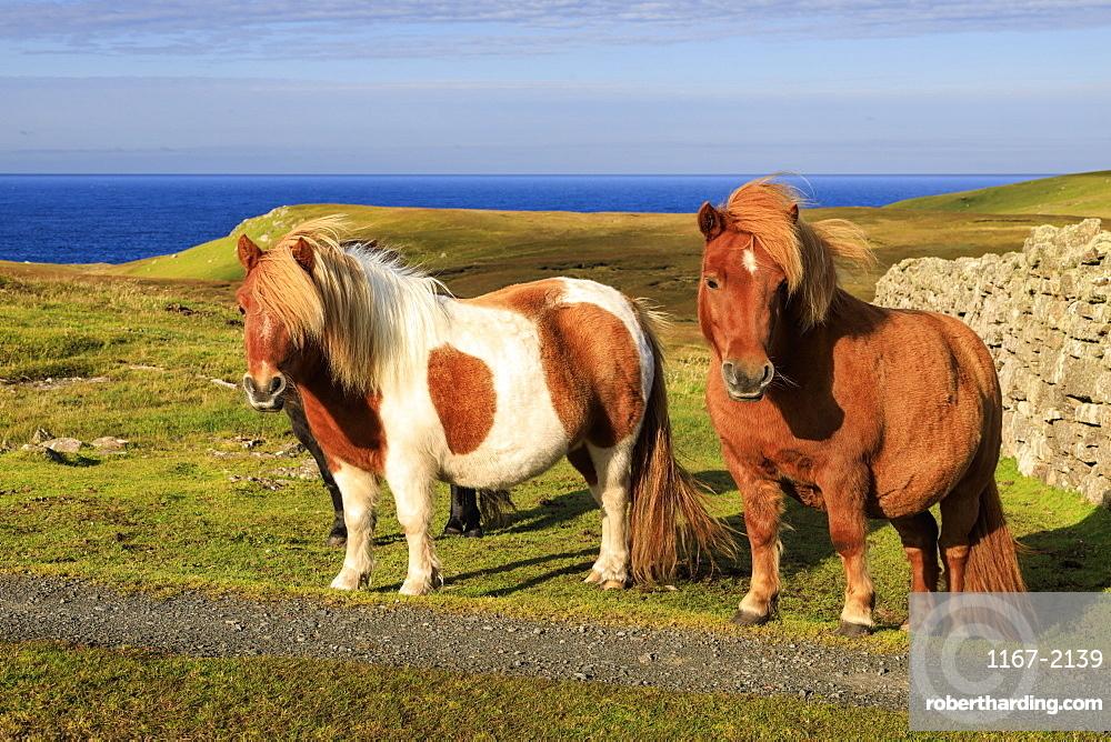 Windswept Shetland Ponies, a world famous unique and hardy breed, cliff tops of Northmavine, Mainland, Shetland Isles, Scotland