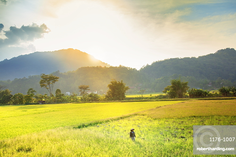A farmer in a conical hat in rice fields in the highlands, Tana Toraja, Sulawesi, Indonesia, Southeast Asia, Asia