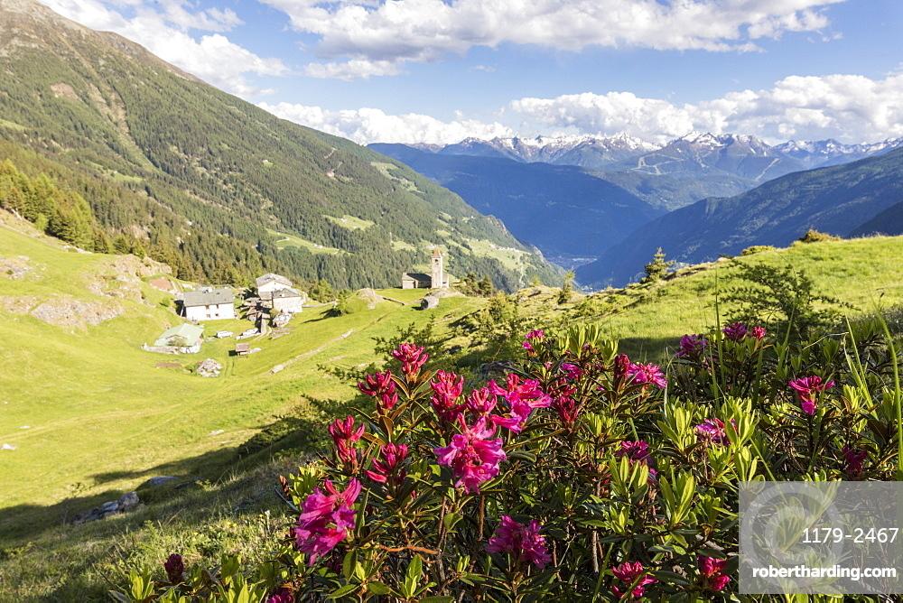 Rhododendrons and alpine village, San Romerio Alp, Brusio, Canton of Graubunden, Poschiavo Valley, Switzerland, Europe