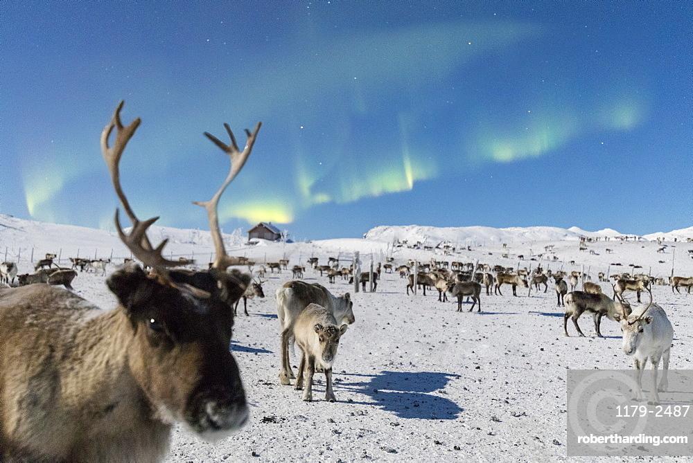 Close up of a reindeer under the Northern Lights (Aurora Borealis), Abisko, Kiruna Municipality, Norrbotten County, Lapland, Sweden, Scandinavia, Europe