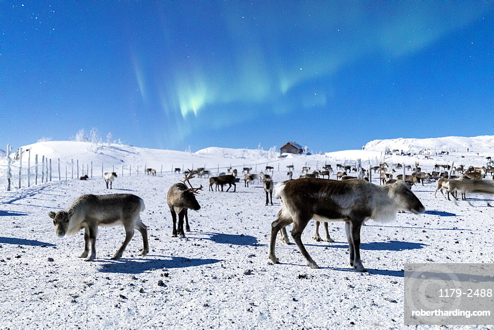 Flock of reindeer under Northern Lights (Aurora Borealis), Abisko, Kiruna Municipality, Norrbotten County, Lapland, Sweden, Scandinavia, Europe