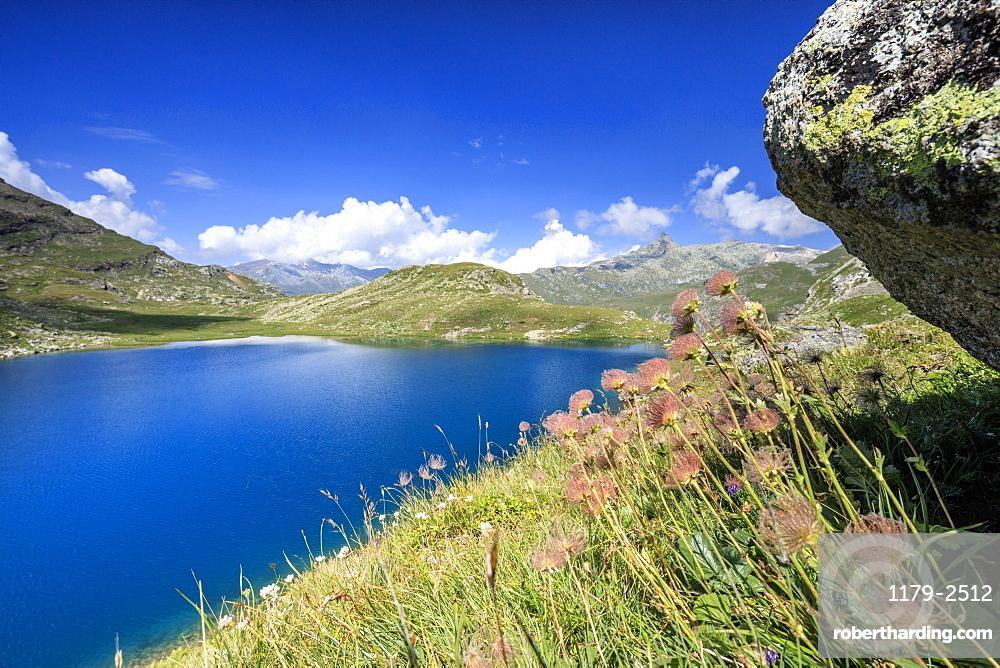 Wild flowers on the shore of alpine lake, Leg Grevasalvas, Julierpass, Maloja, Engadine, Canton of Graubunden, Swiss Alps, Switzerland, Europe