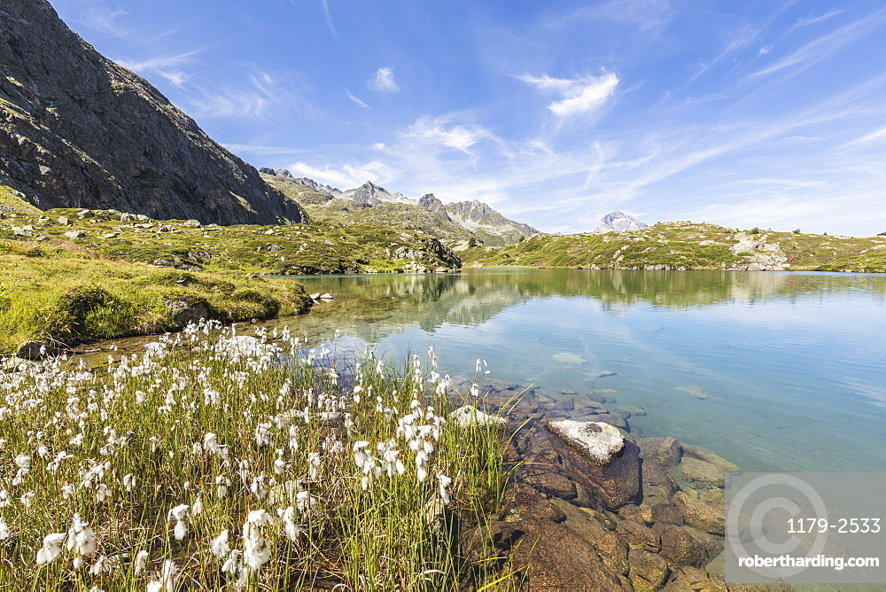 Wildflowers on the shore of the alpine lake, Crap Alv Lejets, Albula Pass, Canton of Graubunden, Swiss Alps, Switzerland, Europe