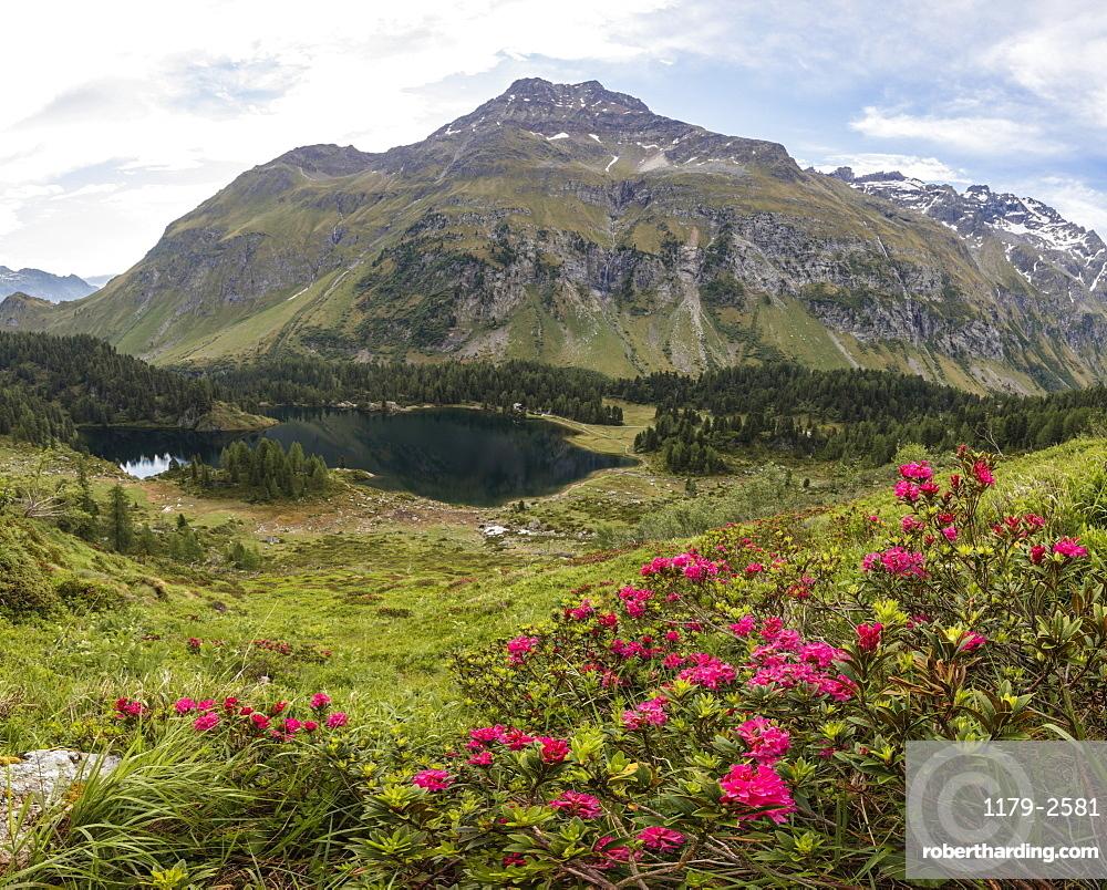 Panoramic of rhododendrons and Lake Cavloc, Maloja Pass, Bregaglia Valley, Engadine, Canton of Graubunden, Switzerland, Europe