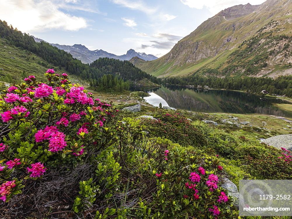 Rhododendrons on the shore of Lake Cavloc, Maloja Pass, Bregaglia Valley, canton of Graubünden, Engadine,Switzerland