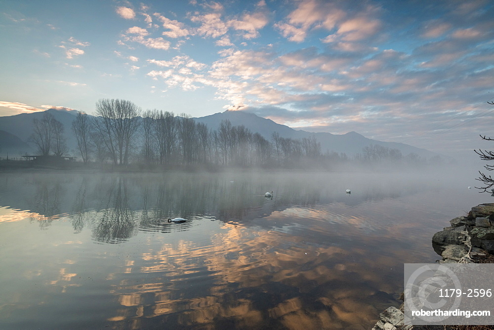Swans in River Mera at sunrise, Sorico, Como province, Lower Valtellina, Lombardy, Italy, Europe