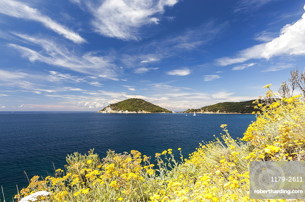 Yellow wild flowers, Gulf of Procchio, Marciana, Elba Island, Livorno Province, Tuscany, Italy, Europe