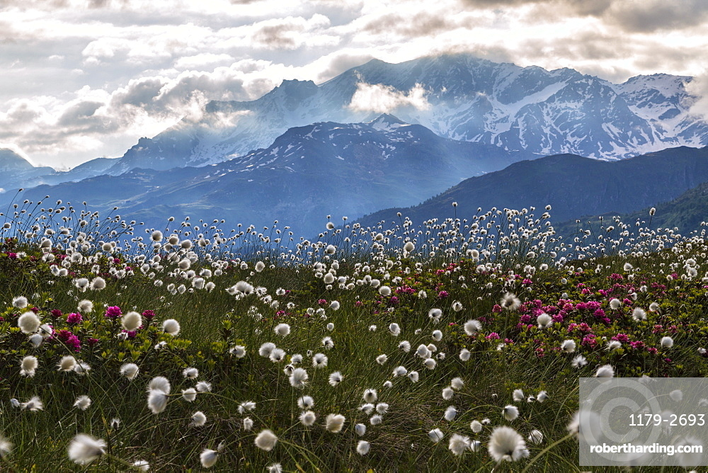 Rhododendrons and cotton grass, Maloja, Bregaglia Valley, Engadine, Canton of Graubunden (Grisons), Switzerland, Europe