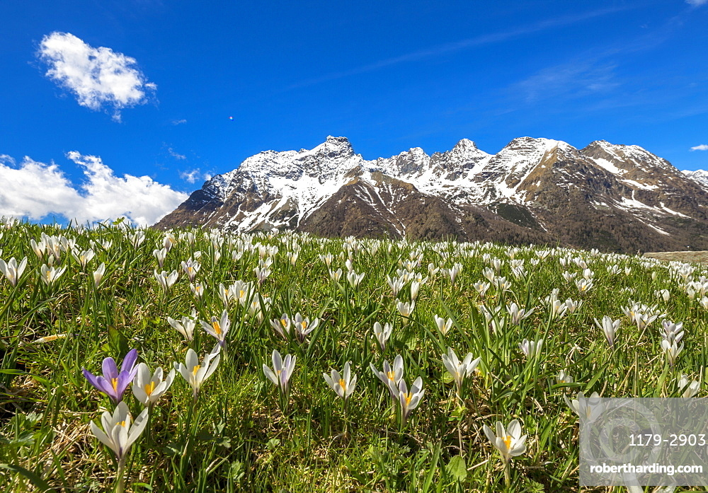 Close-up of Crocus in bloom, Alpe Braccia, Malenco Valley, province of Sondrio, Valtellina, Lombardy, Italy