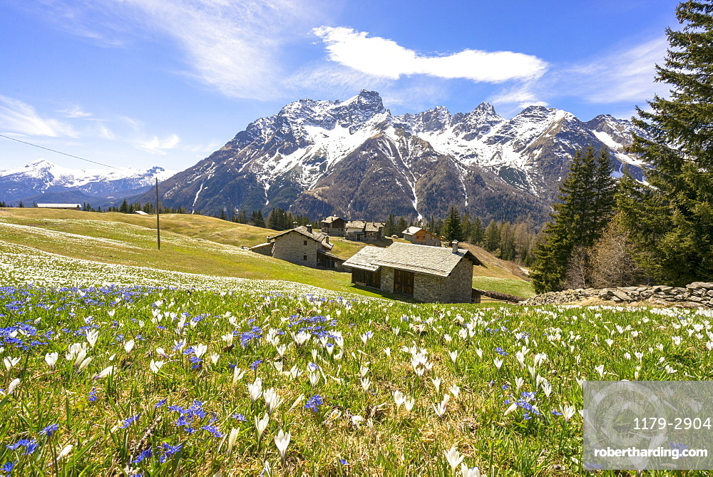 Crocus during spring blooming, Alpe Braccia, Malenco Valley, province of Sondrio, Valtellina, Lombardy, Italy
