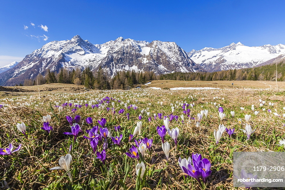 Crocus during spring blooming, Entova Alp, Malenco Valley, province of Sondrio, Valtellina, Lombardy, Italy