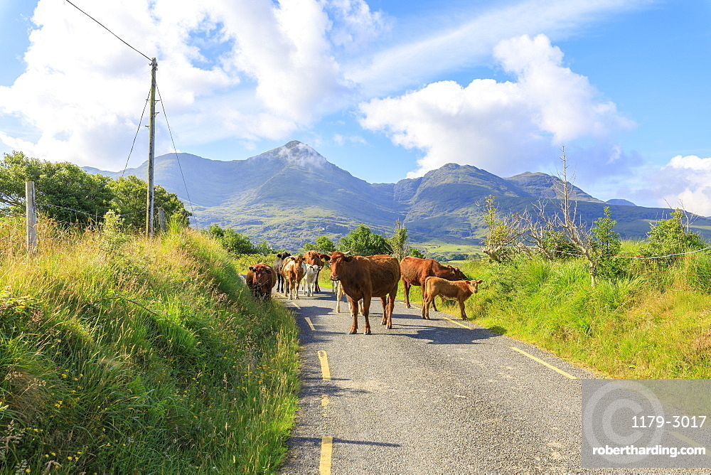 Cows on the road, Killarney National Park, County Kerry, Munster, Republic of Ireland, Europe