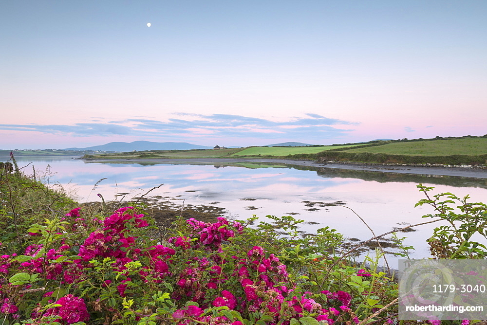 Wild flowers in meadows by the sea, Cahersiveen, County Kerry, Ireland