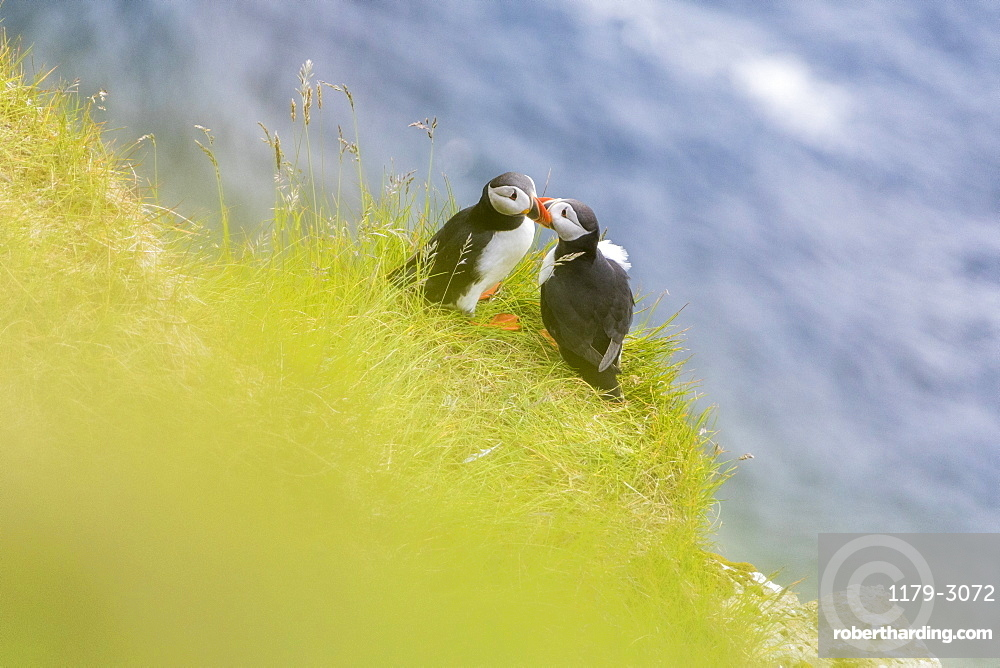 Atlantic puffins on grass, Kalsoy Island, Faroe Islands, Denmark, Europe