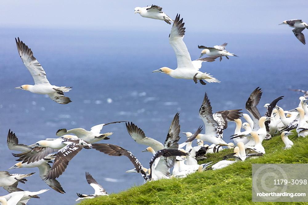 Gannet seabirds, Mykines Island, Faroe Islands, Denmark, Europe