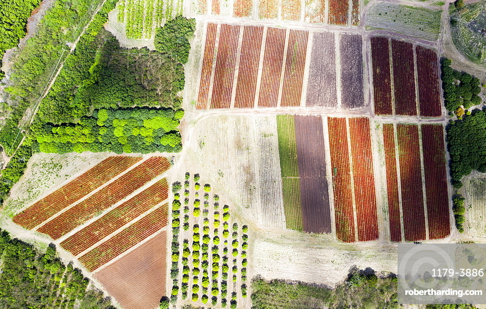 Cultivated fields and fig tree forest from above, Pinefield Plantation, Antigua, Caribbean, West Indies (drone)