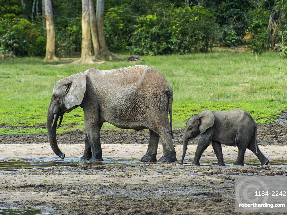 African forest elephant (Loxodonta cyclotis) with baby , Dzanga Bai, Unesco world heritage sight Dzanga-Sangha Special Reserve, Central African Republic