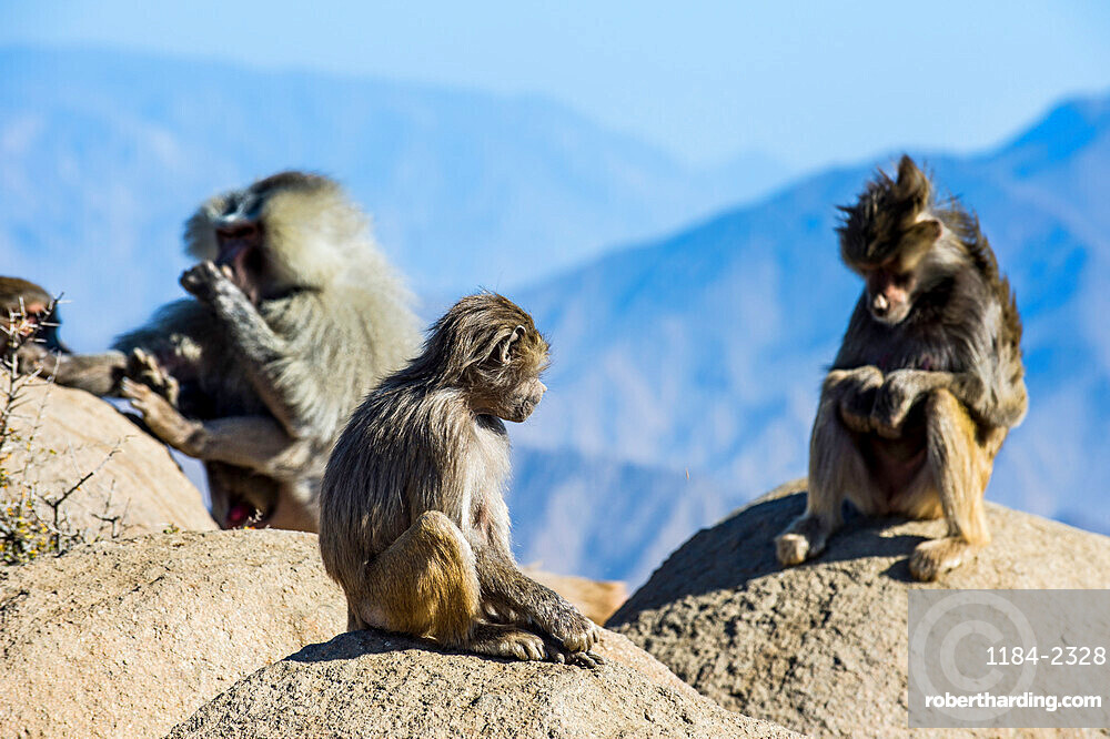 Baboons on mountain cliff , Abha, Saudi Arabia