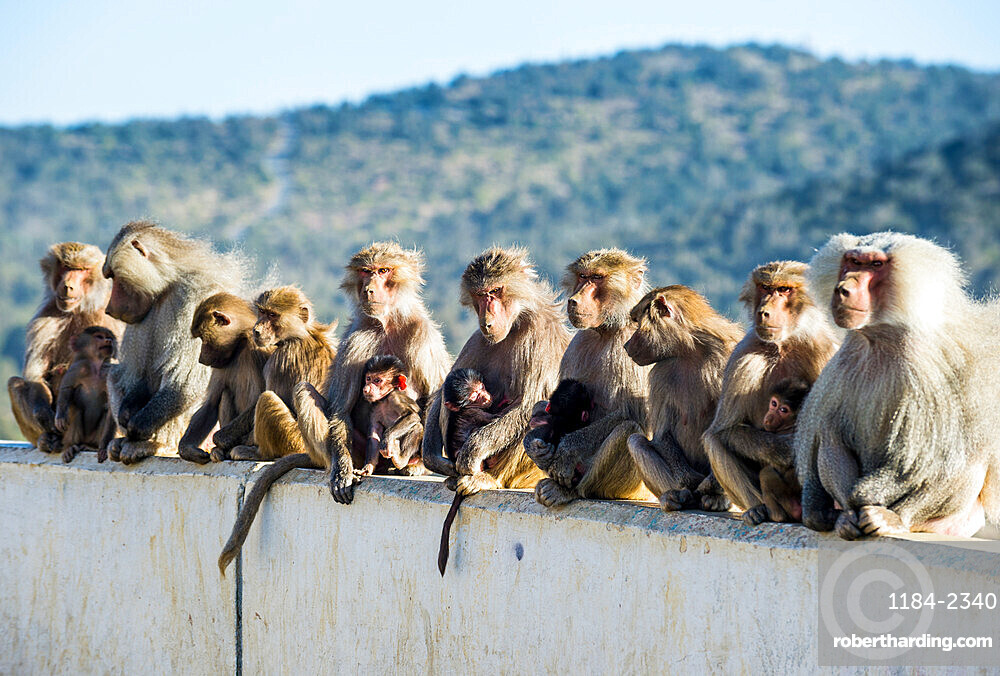 Baboons posing on Mount Souda, highest mountain in Saudi Arabia, Abha, Saudi Arabia, Middle East