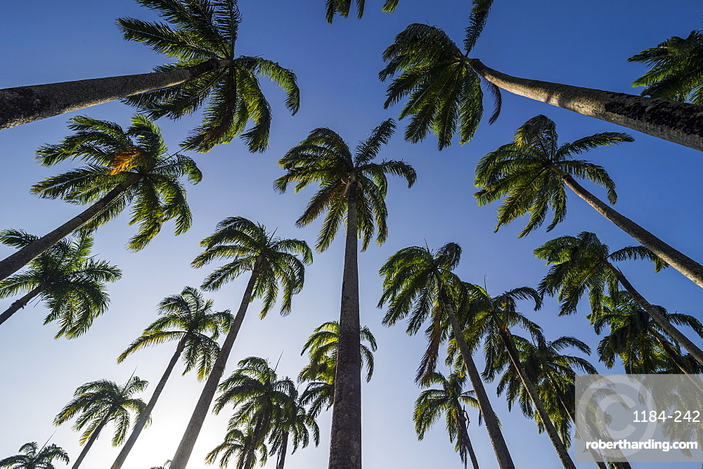Palm grove in the heart of Cayenne, French Guiana, Department of France, South America