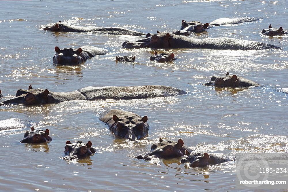 Hippopotamus (Hippopotamus Amphibious), Zambia, Africa