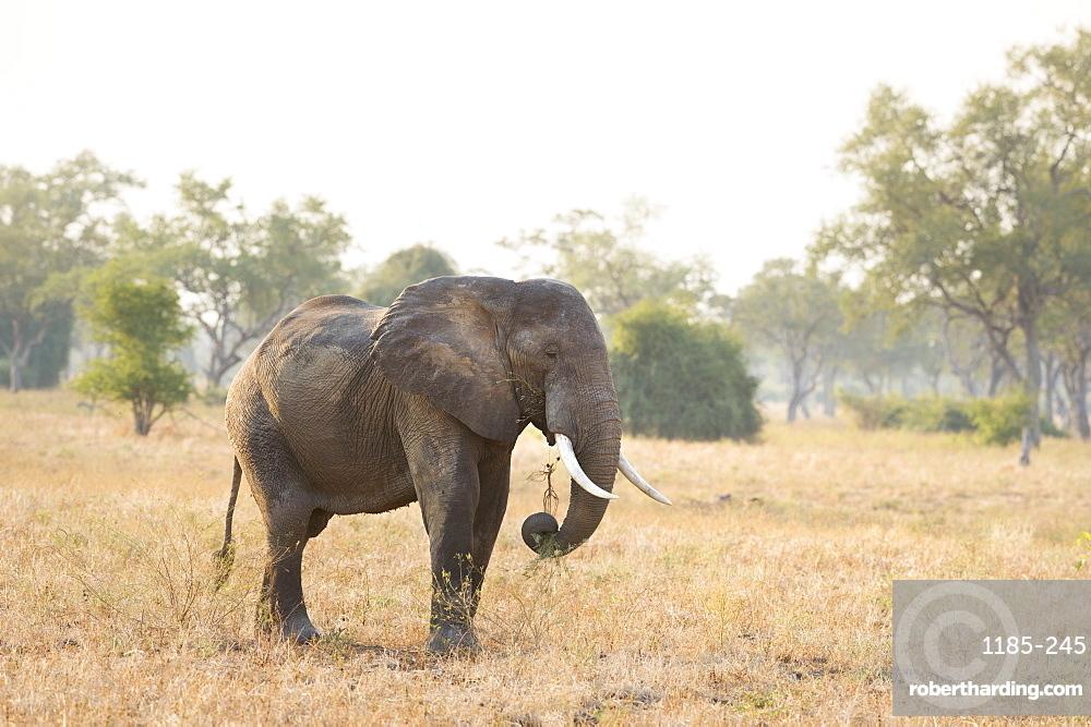 African Elephant (Loxodonta Africana), Zambia, Africa