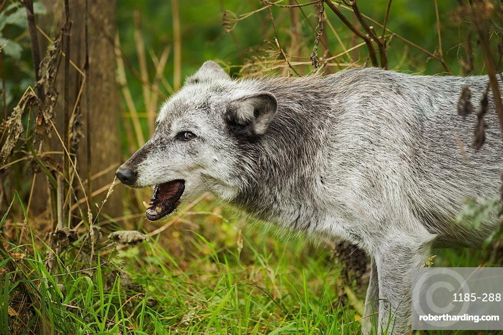 Grey wolf (Lupus canis), captive, United Kingdom, Europe