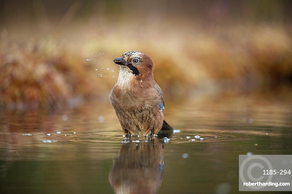 Jay (Garrulus glandarius) bathing, Sweden, Scandinavia, Europe