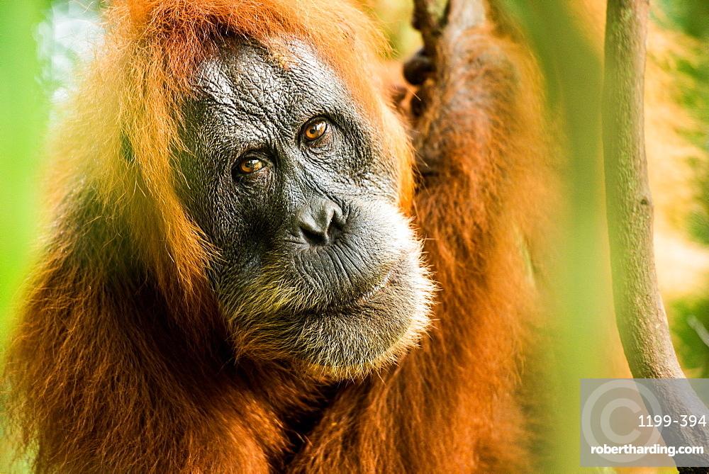 female Orangutan Sumatra (Pongo abelii), Indonesia, Southeast Asia